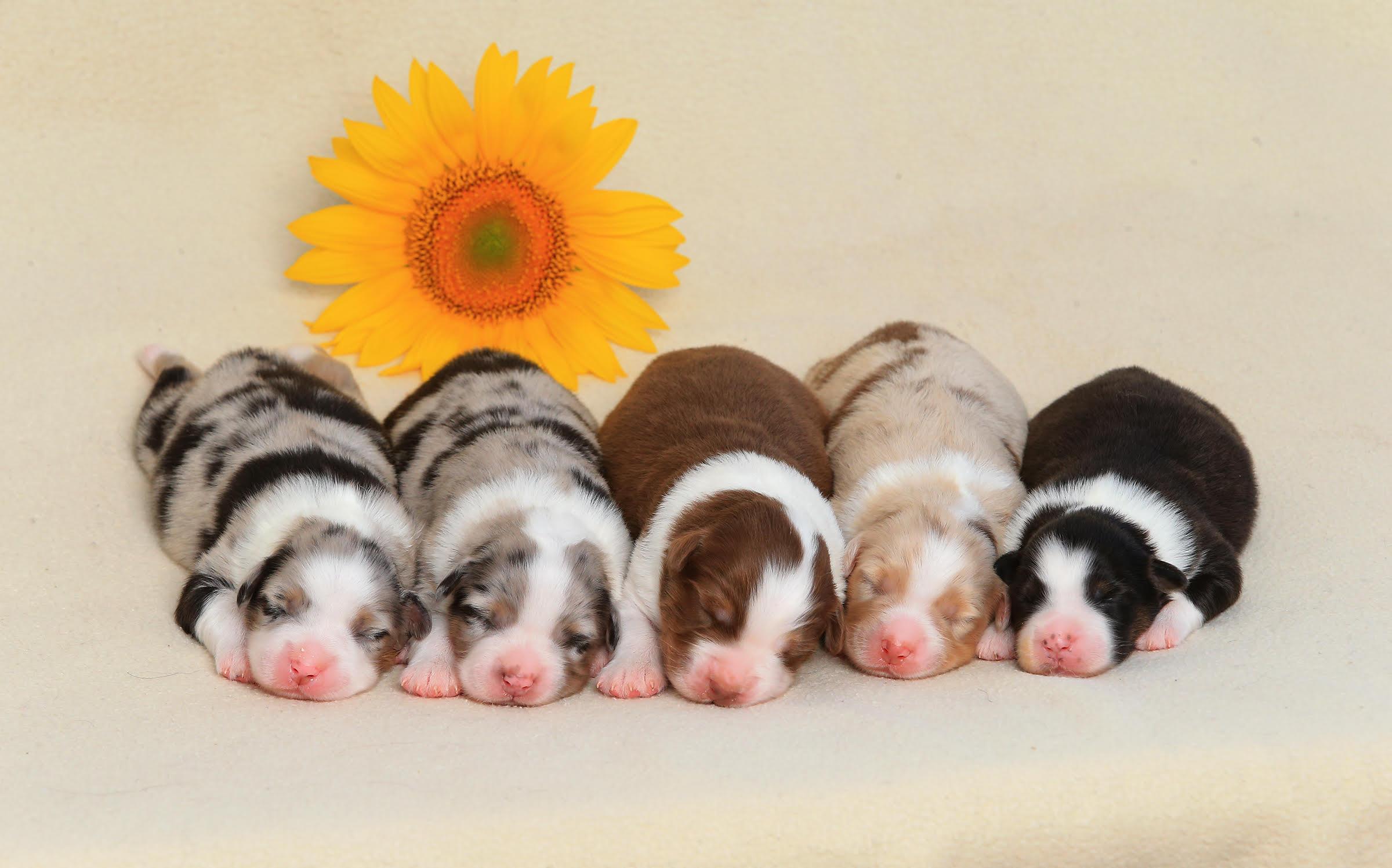 Puppies- AussiePride