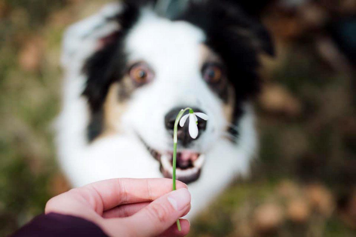 AussiePride - Australian Shepherds image by pet owner